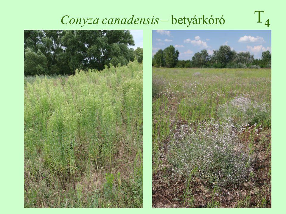 Conyza canadensis – betyárkóró