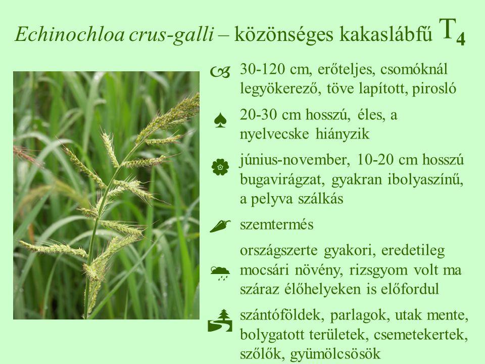 Echinochloa crus-galli – közönséges kakaslábfű