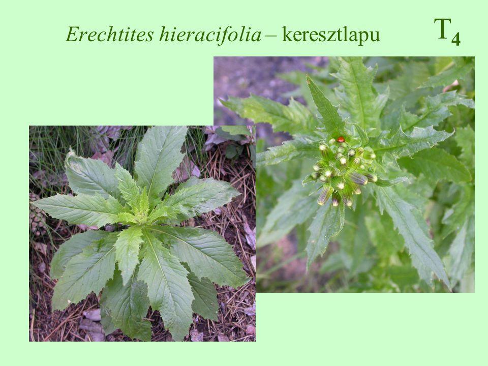 Erechtites hieracifolia – keresztlapu