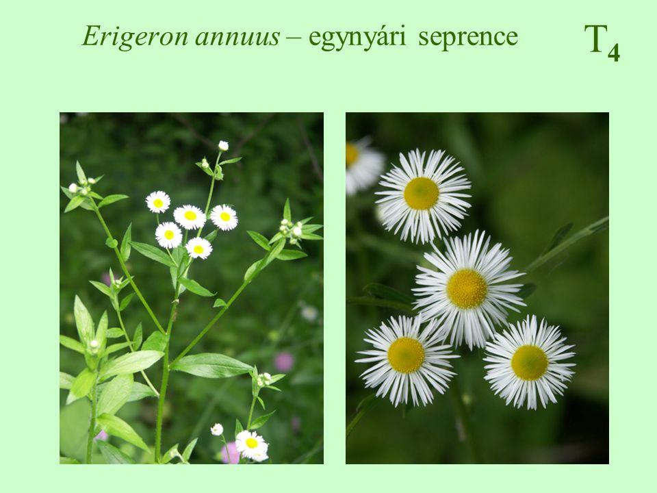 Erigeron annuus – egynyári seprence