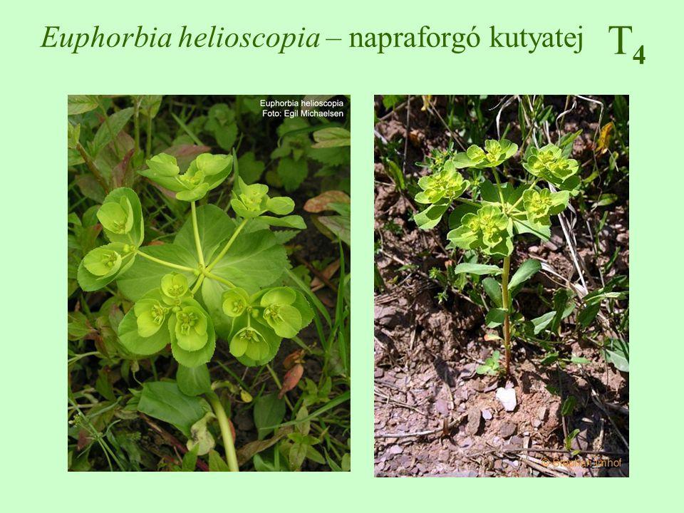 Euphorbia helioscopia – napraforgó kutyatej