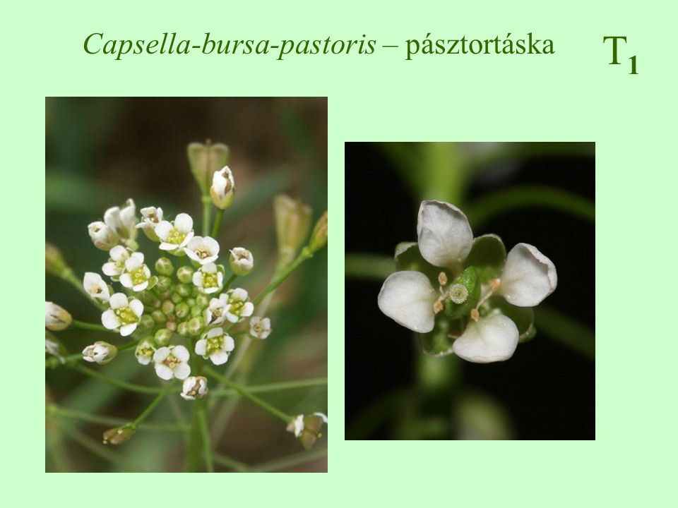 Capsella-bursa-pastoris – pásztortáska