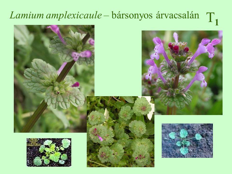 Lamium amplexicaule – bársonyos árvacsalán