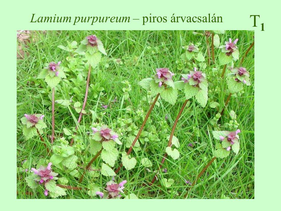 Lamium purpureum – piros árvacsalán