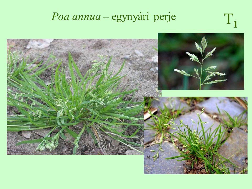 Poa annua – egynyári perje