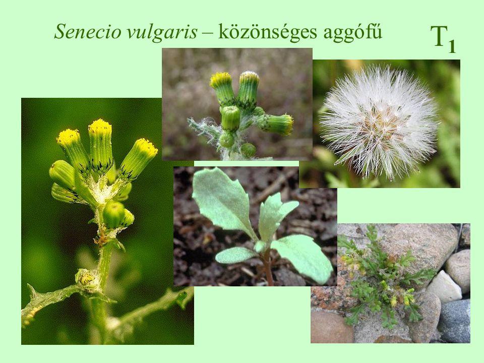 Senecio vulgaris – közönséges aggófű