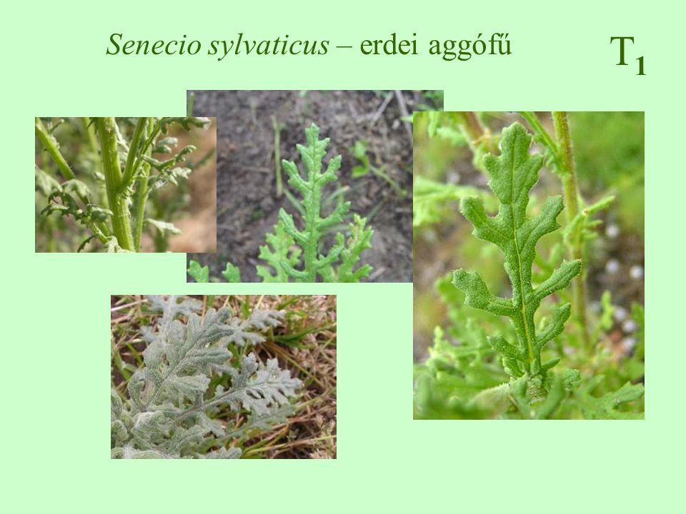 Senecio sylvaticus – erdei aggófű