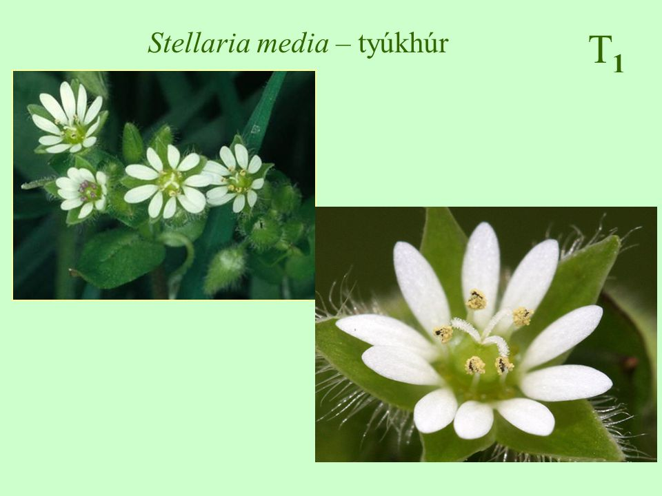 Stellaria media – tyúkhúr
