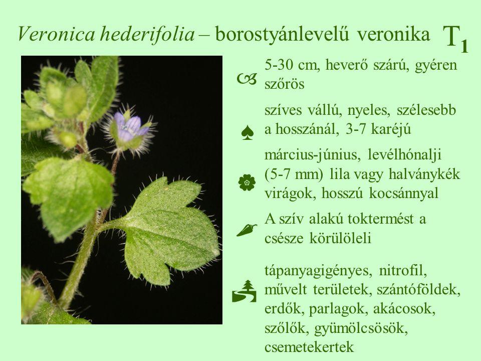 Veronica hederifolia – borostyánlevelű veronika