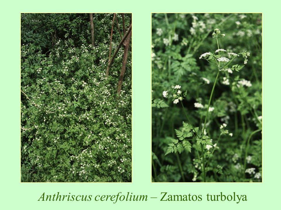 Anthriscus cerefolium – Zamatos turbolya