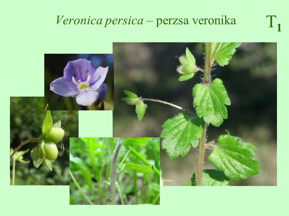 Veronica persica – perzsa veronika