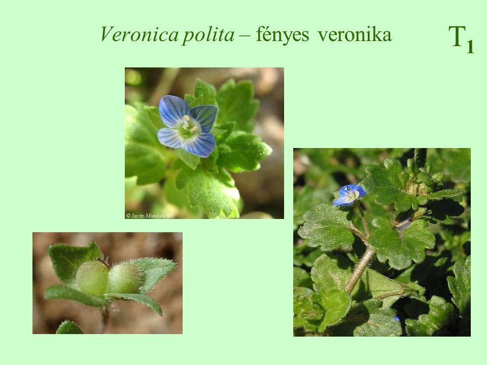 Veronica polita – fényes veronika