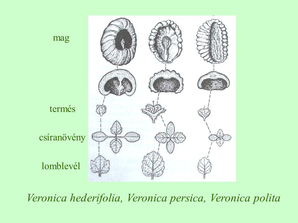 Veronica hederifolia, Veronica persica, Veronica polita