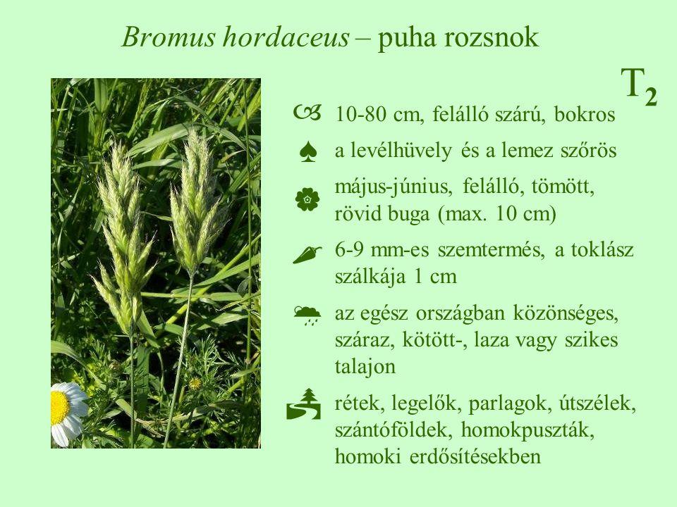 Bromus hordaceus – puha rozsnok