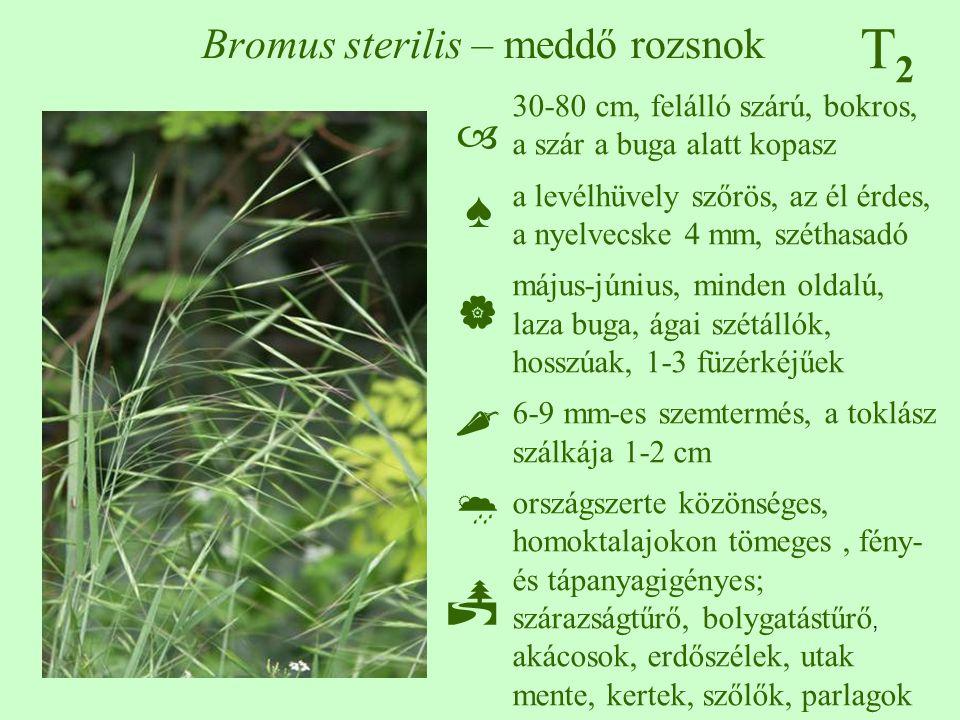 Bromus sterilis – meddő rozsnok