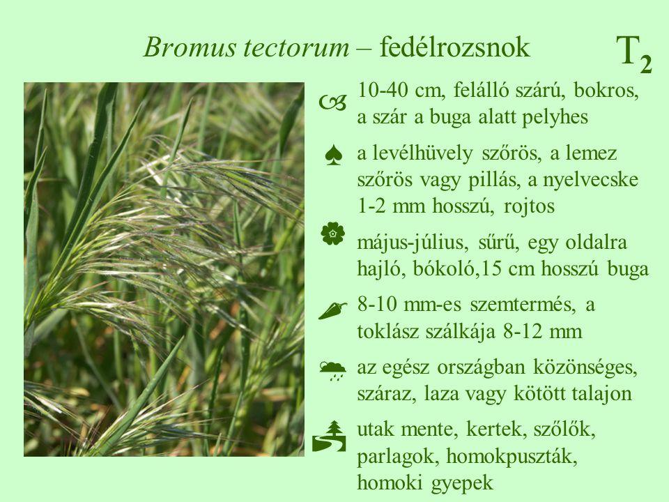Bromus tectorum – fedélrozsnok