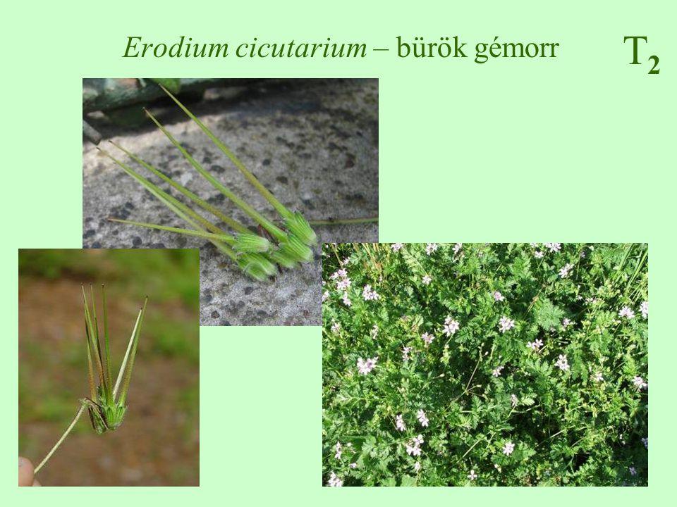 Erodium cicutarium – bürök gémorr