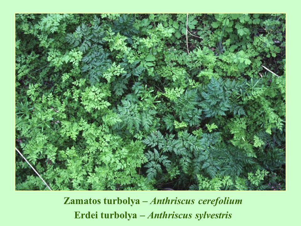 Zamatos turbolya – Anthriscus cerefolium