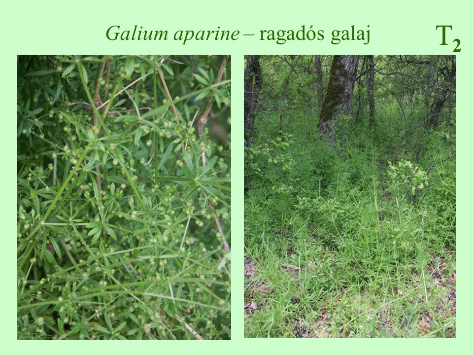 Galium aparine – ragadós galaj