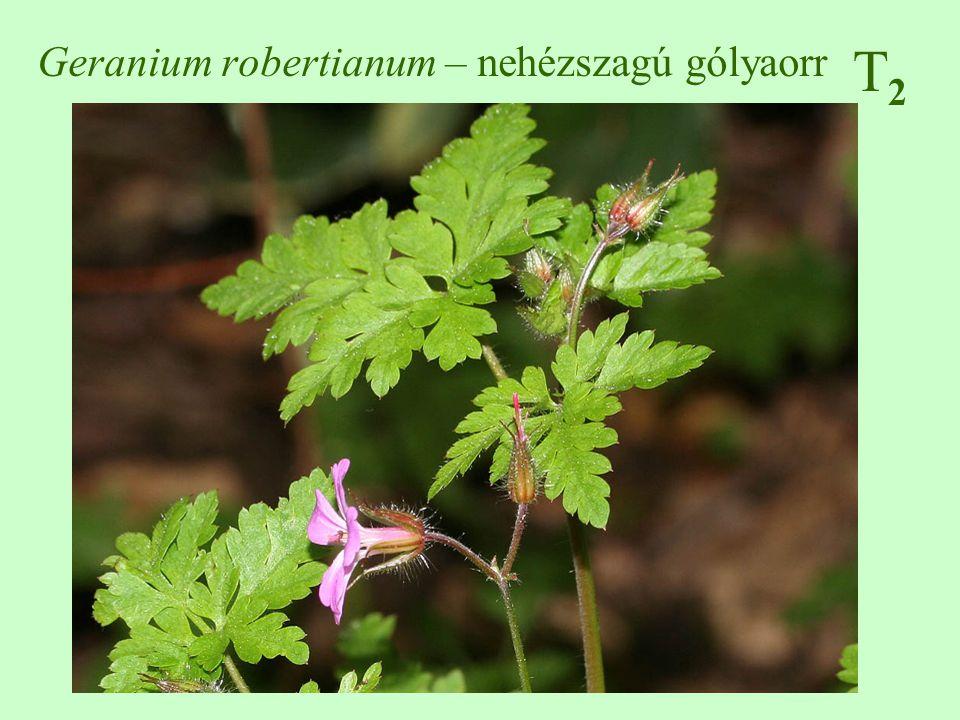 Geranium robertianum – nehézszagú gólyaorr