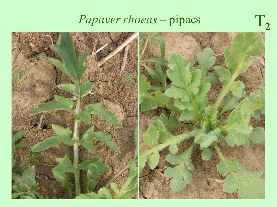 Papaver rhoeas – pipacs