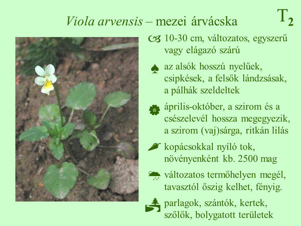 Viola arvensis – mezei árvácska