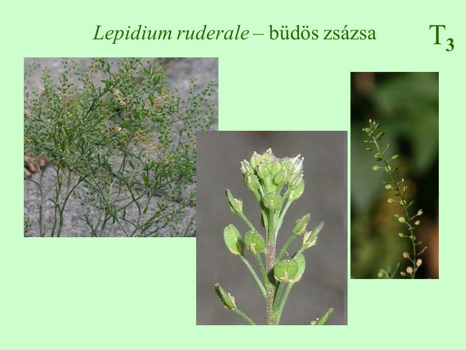 Lepidium ruderale – büdös zsázsa