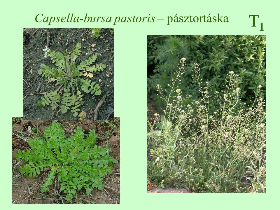 Capsella-bursa pastoris – pásztortáska