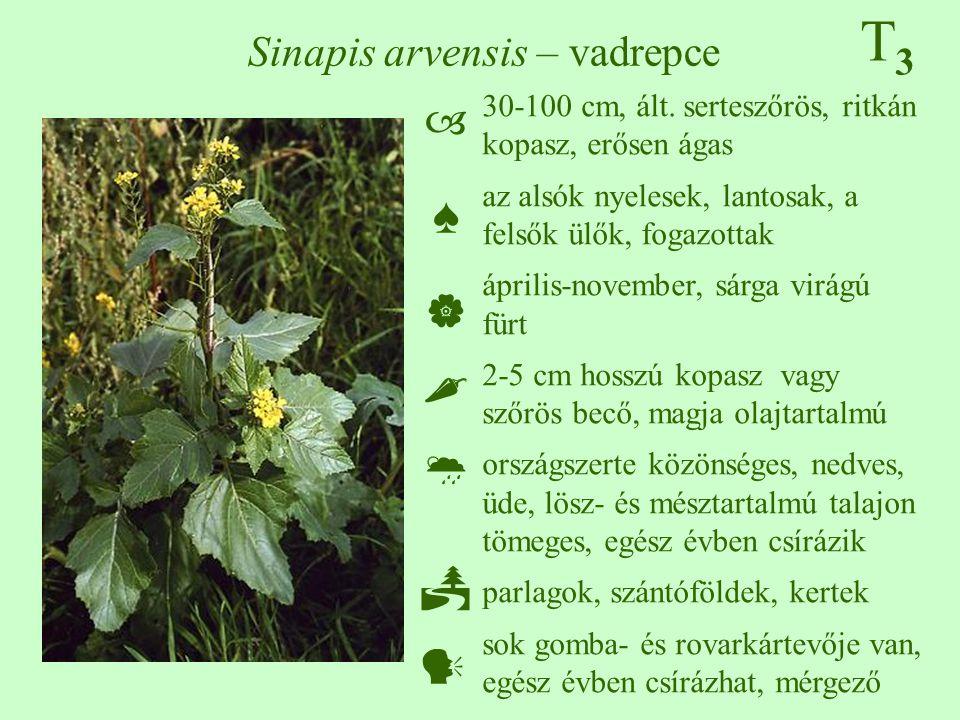 Sinapis arvensis – vadrepce