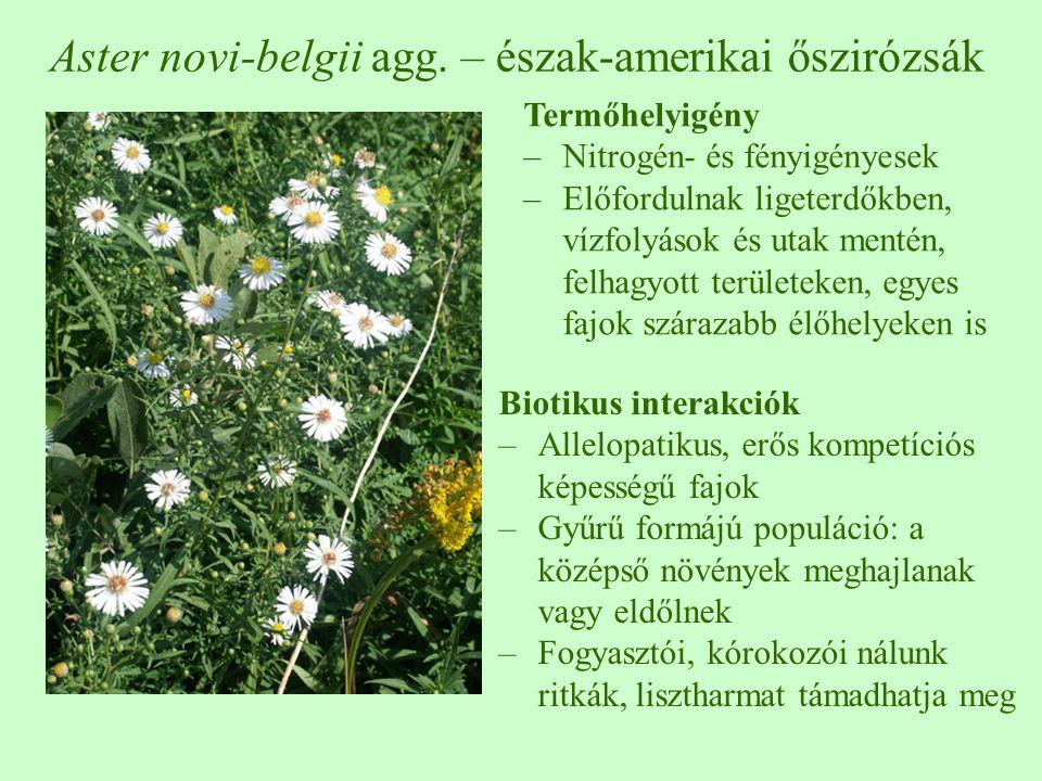 Aster novi-belgii agg. – észak-amerikai őszirózsák