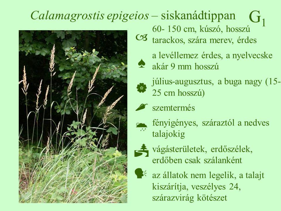 Calamagrostis epigeios – siskanádtippan
