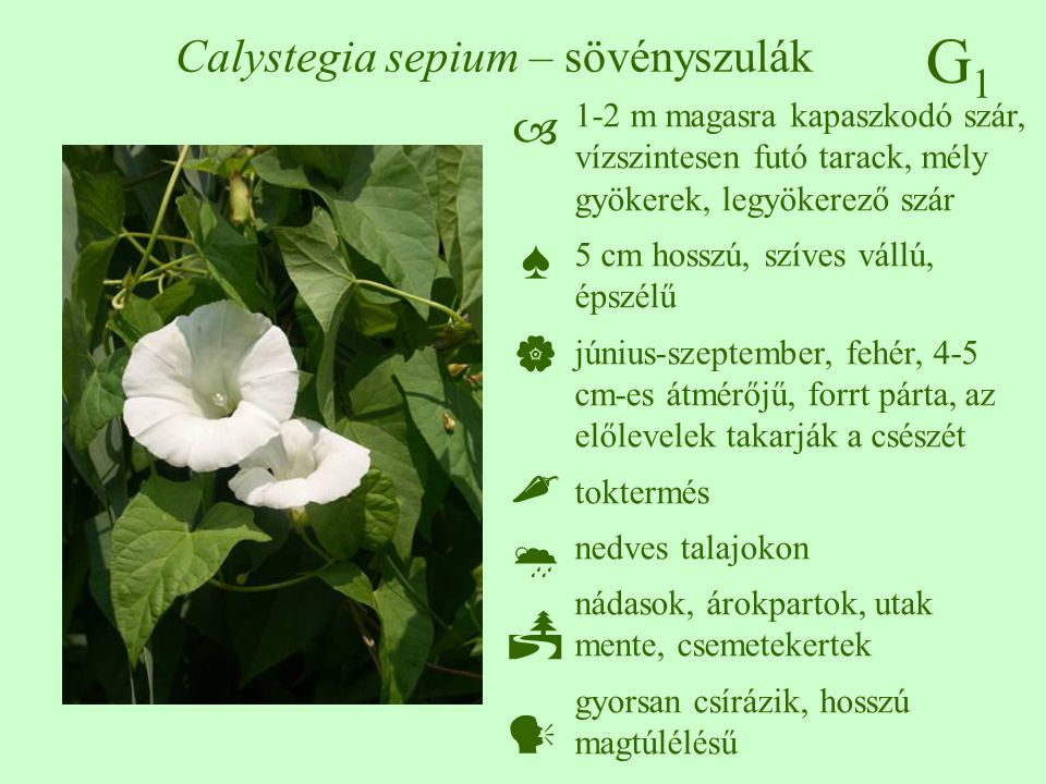 Calystegia sepium – sövényszulák