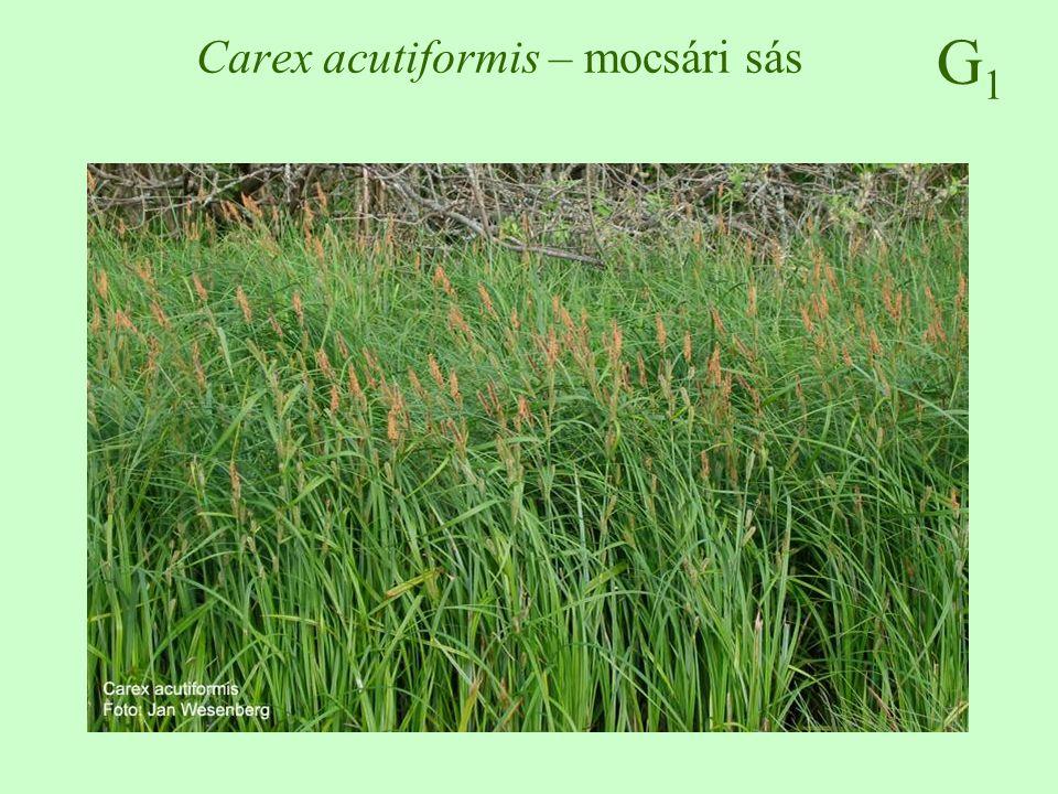 Carex acutiformis – mocsári sás