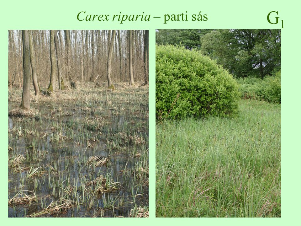 Carex riparia – parti sás