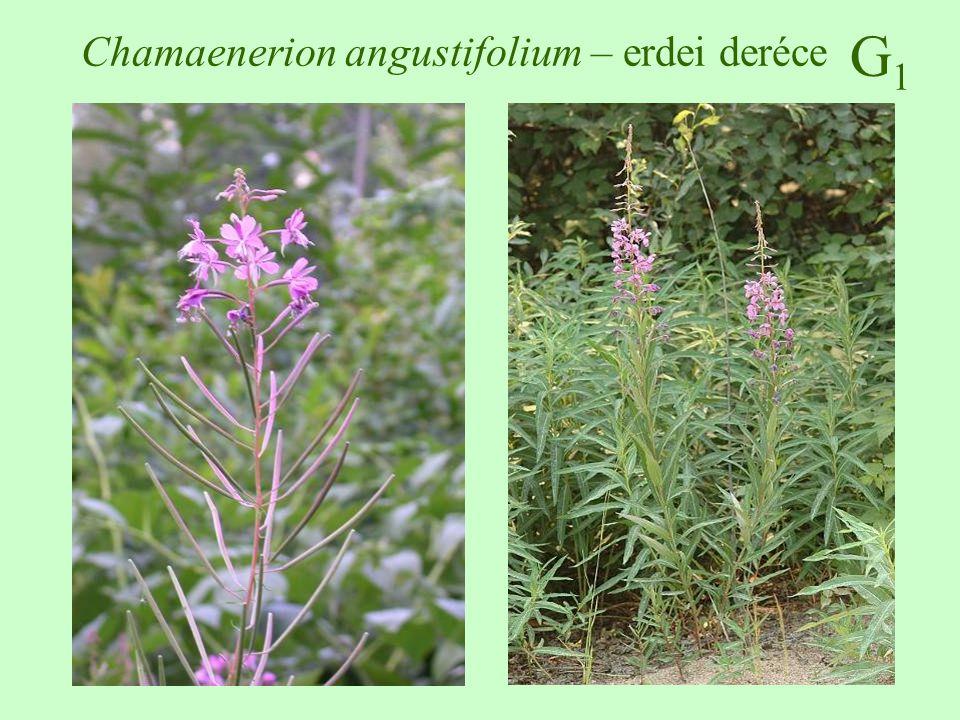 Chamaenerion angustifolium – erdei deréce