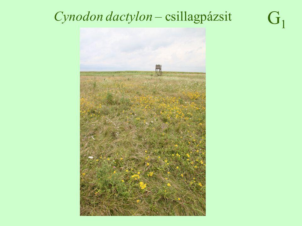 Cynodon dactylon – csillagpázsit