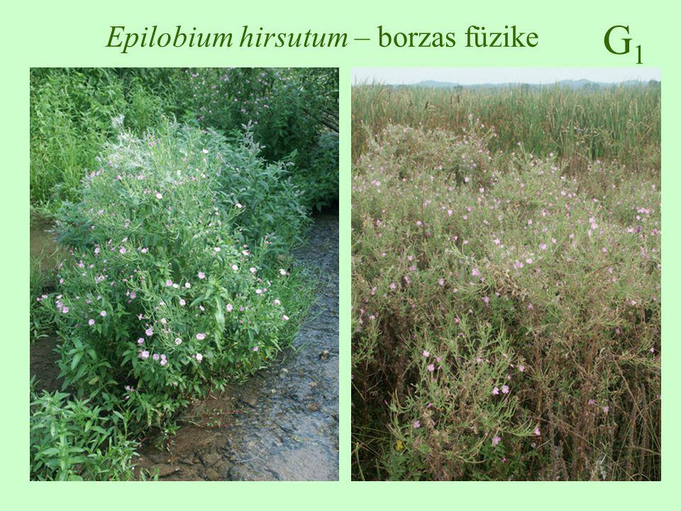 Epilobium hirsutum – borzas füzike