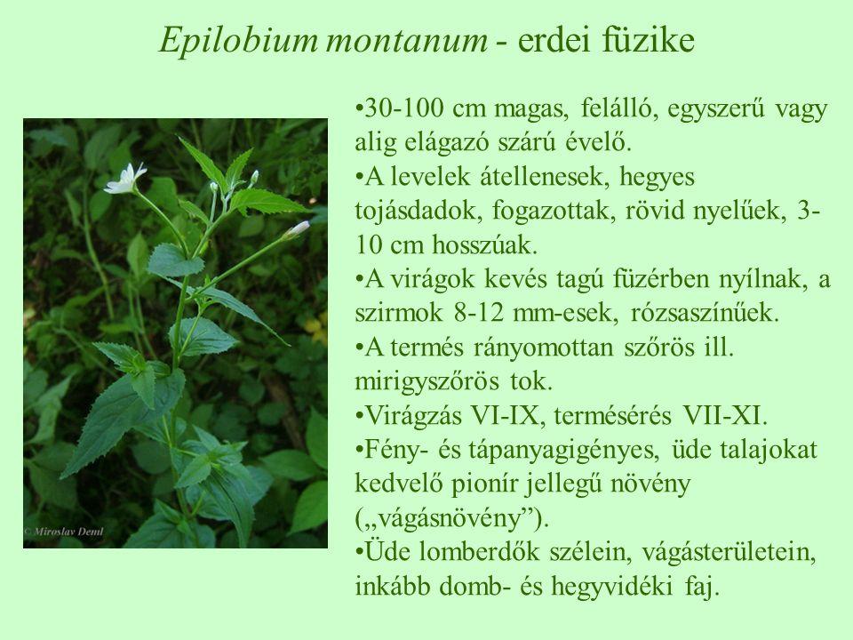 Epilobium montanum - erdei füzike