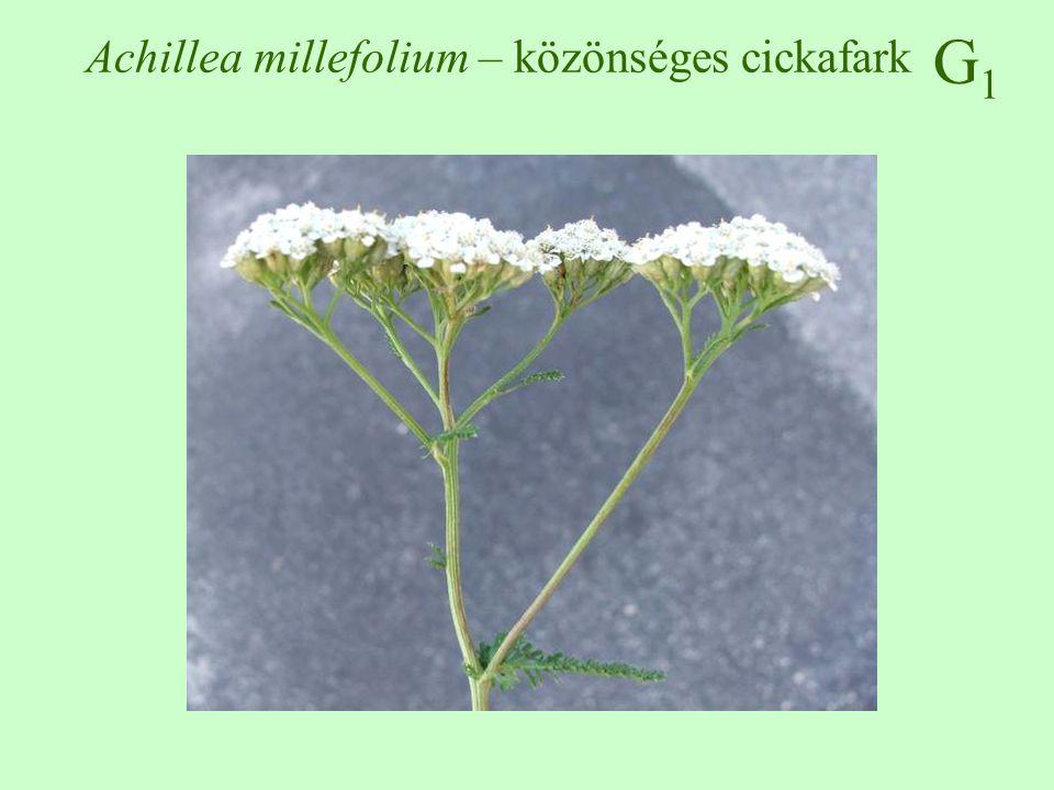Achillea millefolium – közönséges cickafark
