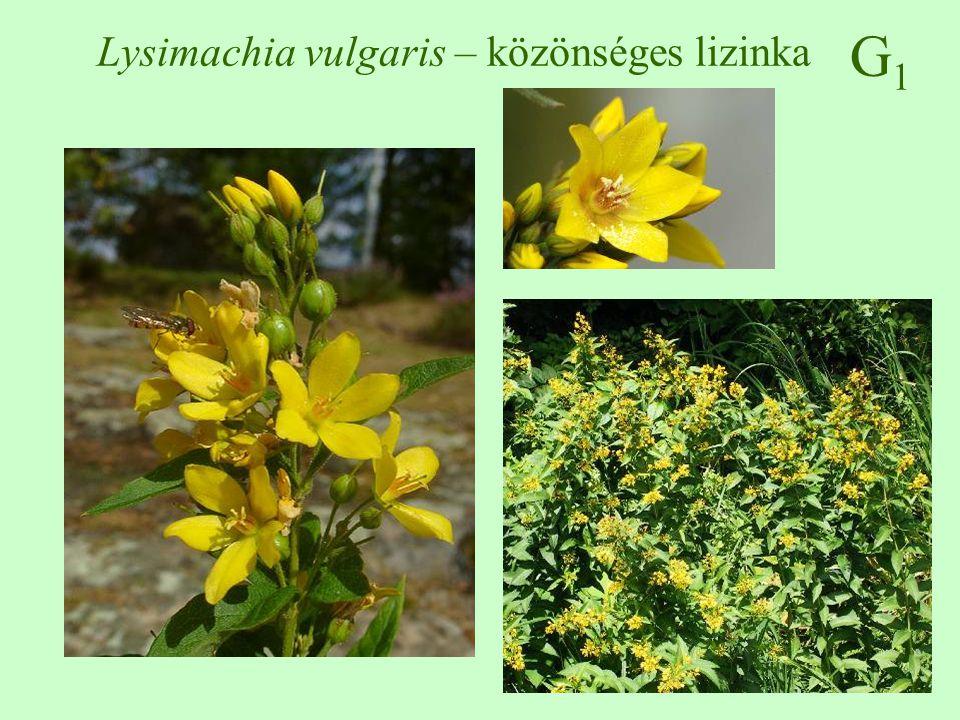 Lysimachia vulgaris – közönséges lizinka