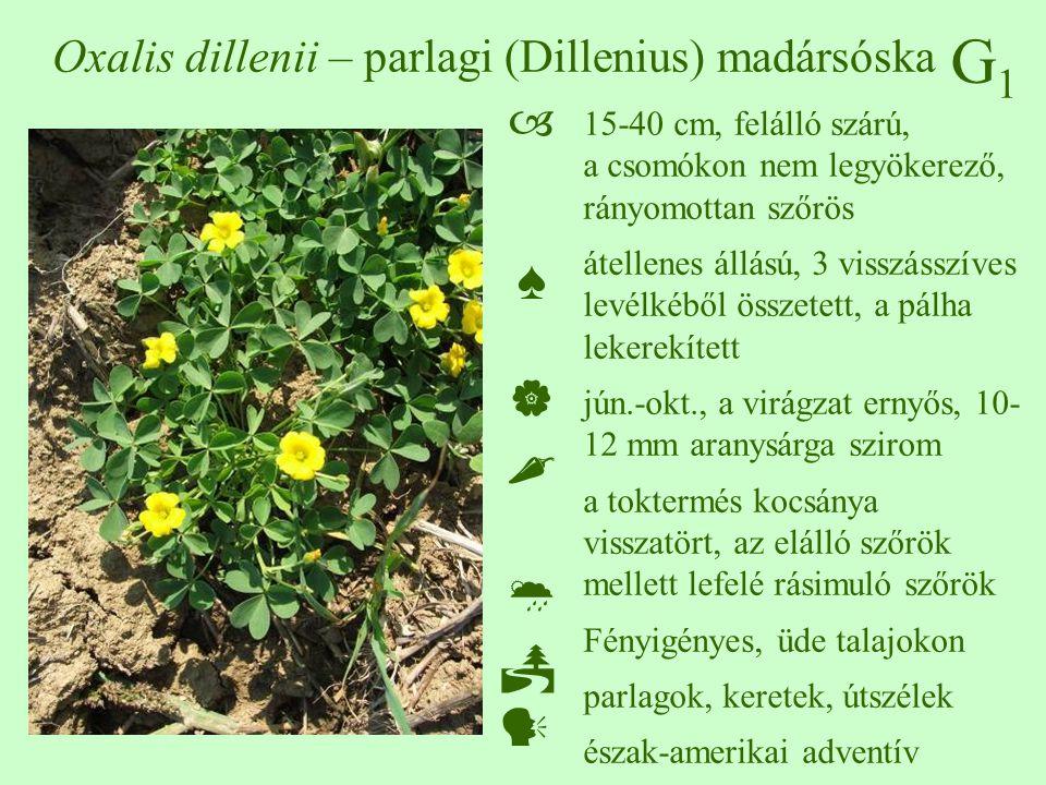 Oxalis dillenii – parlagi (Dillenius) madársóska