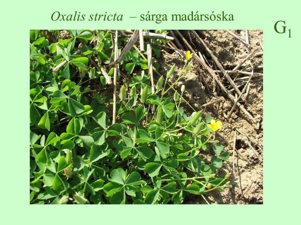 Oxalis stricta – sárga madársóska