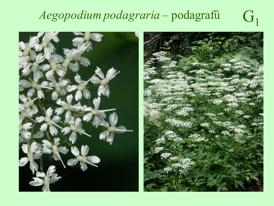 Aegopodium podagraria – podagrafű
