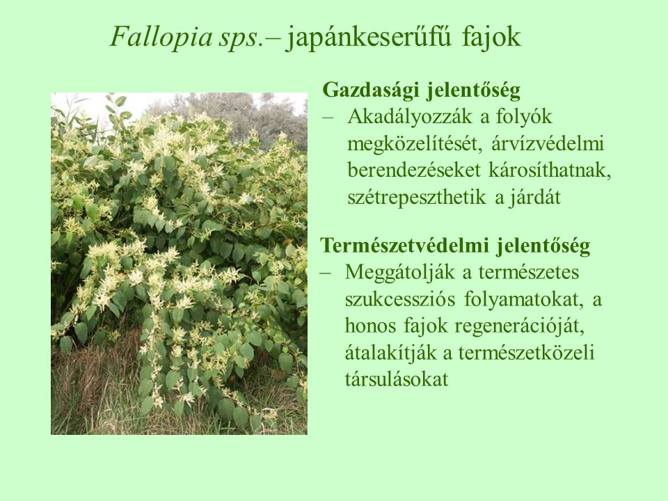 Fallopia sps.– japánkeserűfű fajok