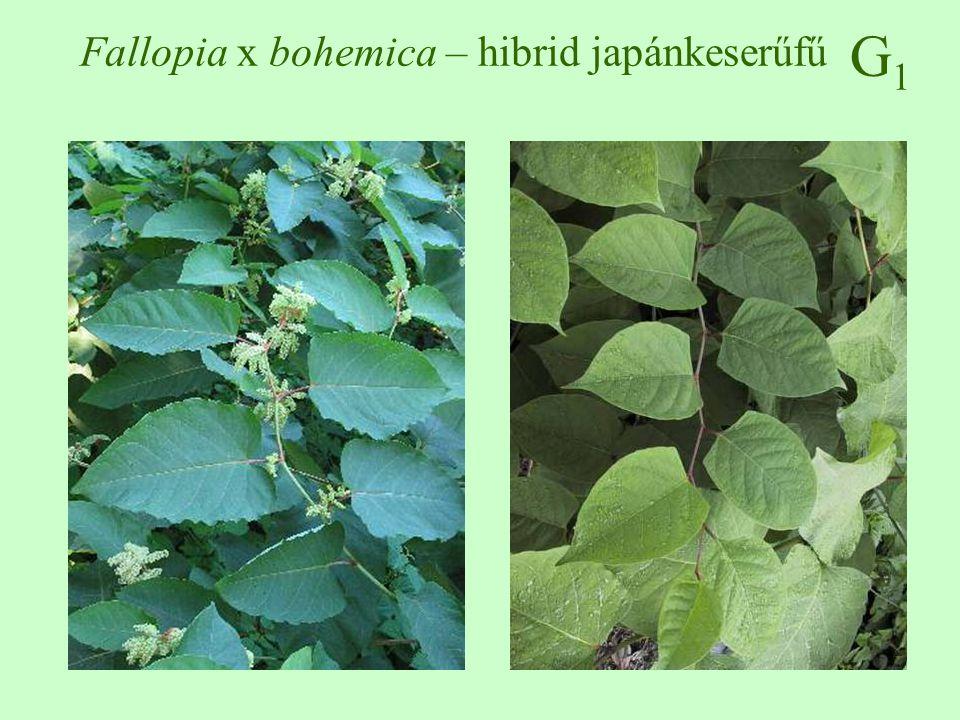 Fallopia x bohemica – hibrid japánkeserűfű