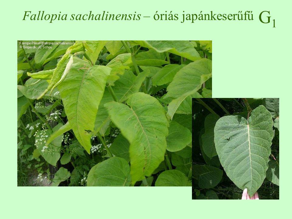 Fallopia sachalinensis – óriás japánkeserűfű