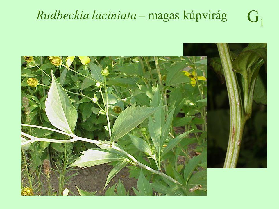 Rudbeckia laciniata – magas kúpvirág
