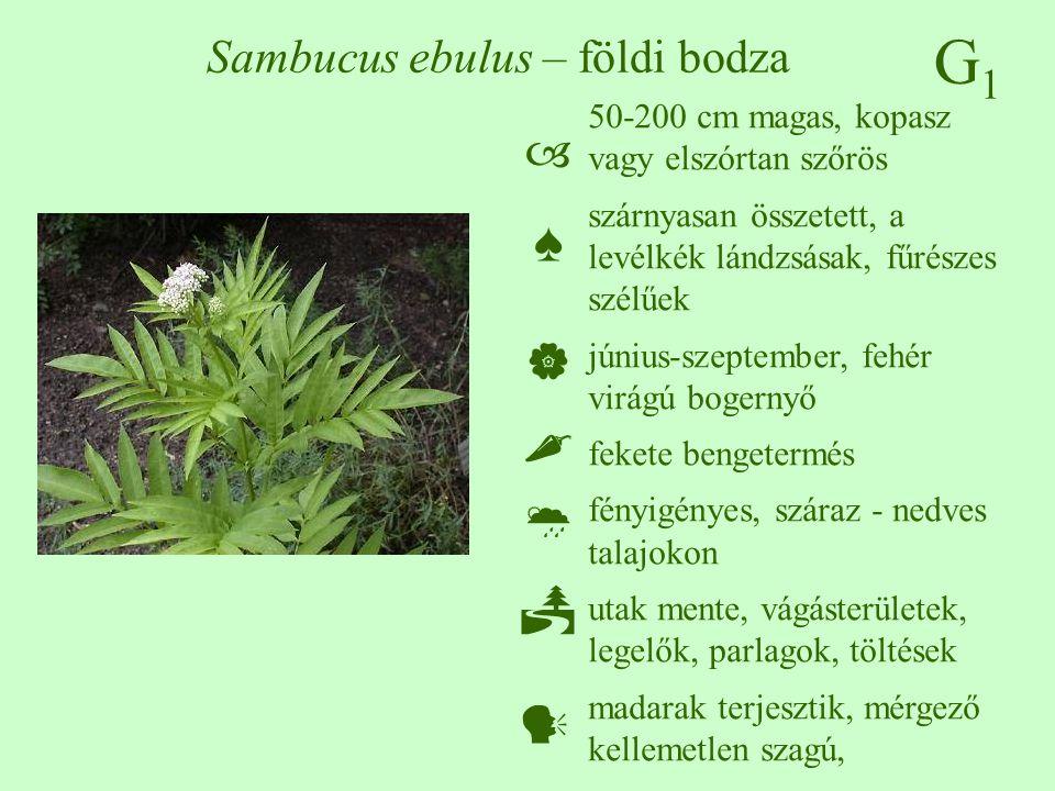 Sambucus ebulus – földi bodza