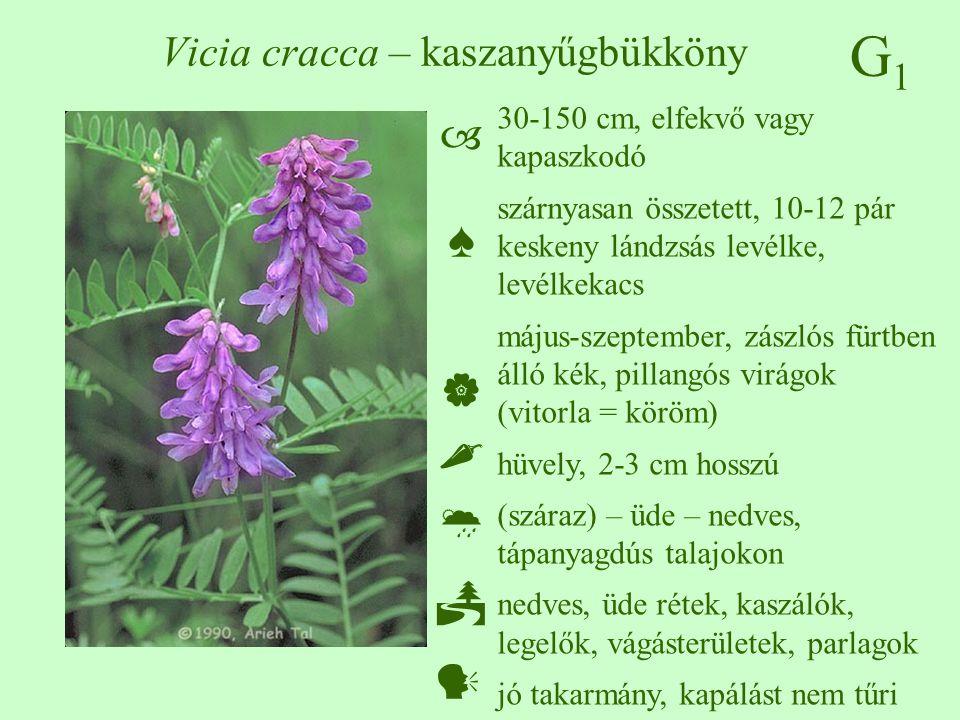 Vicia cracca – kaszanyűgbükköny
