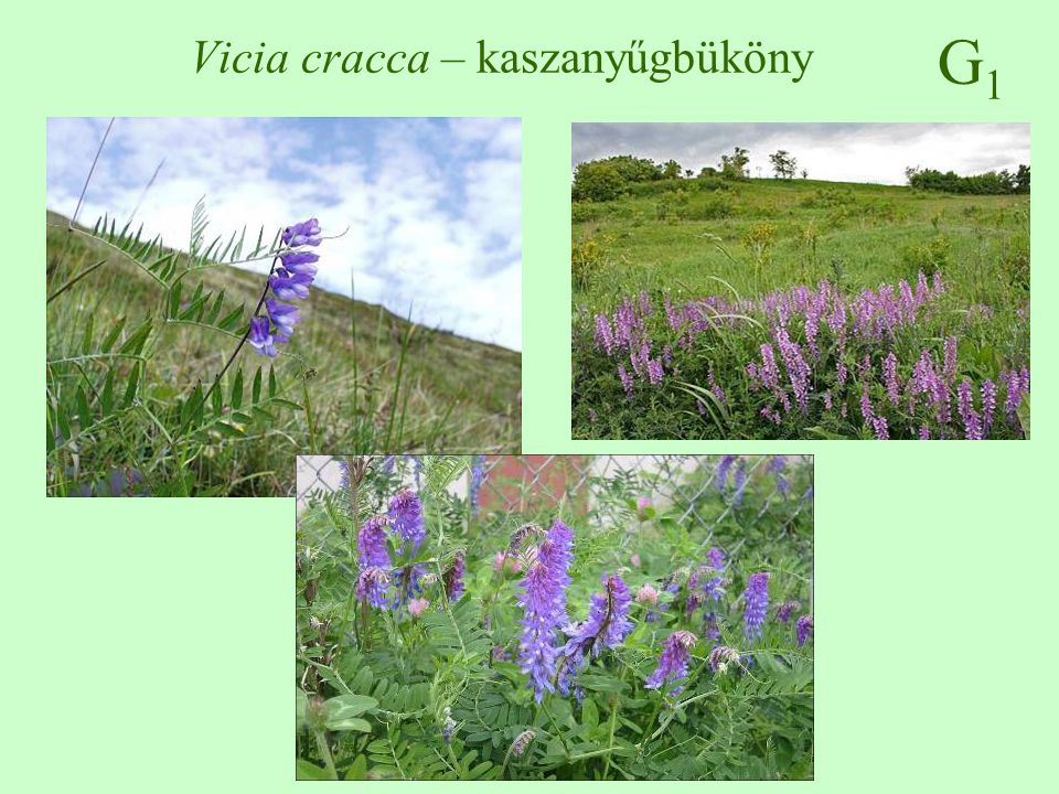 Vicia cracca – kaszanyűgbüköny